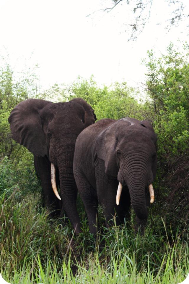 Elephants at Queen Elizabeth Park