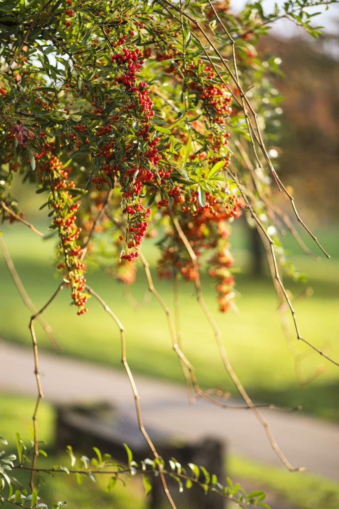 Autumnal berries in Castle Park