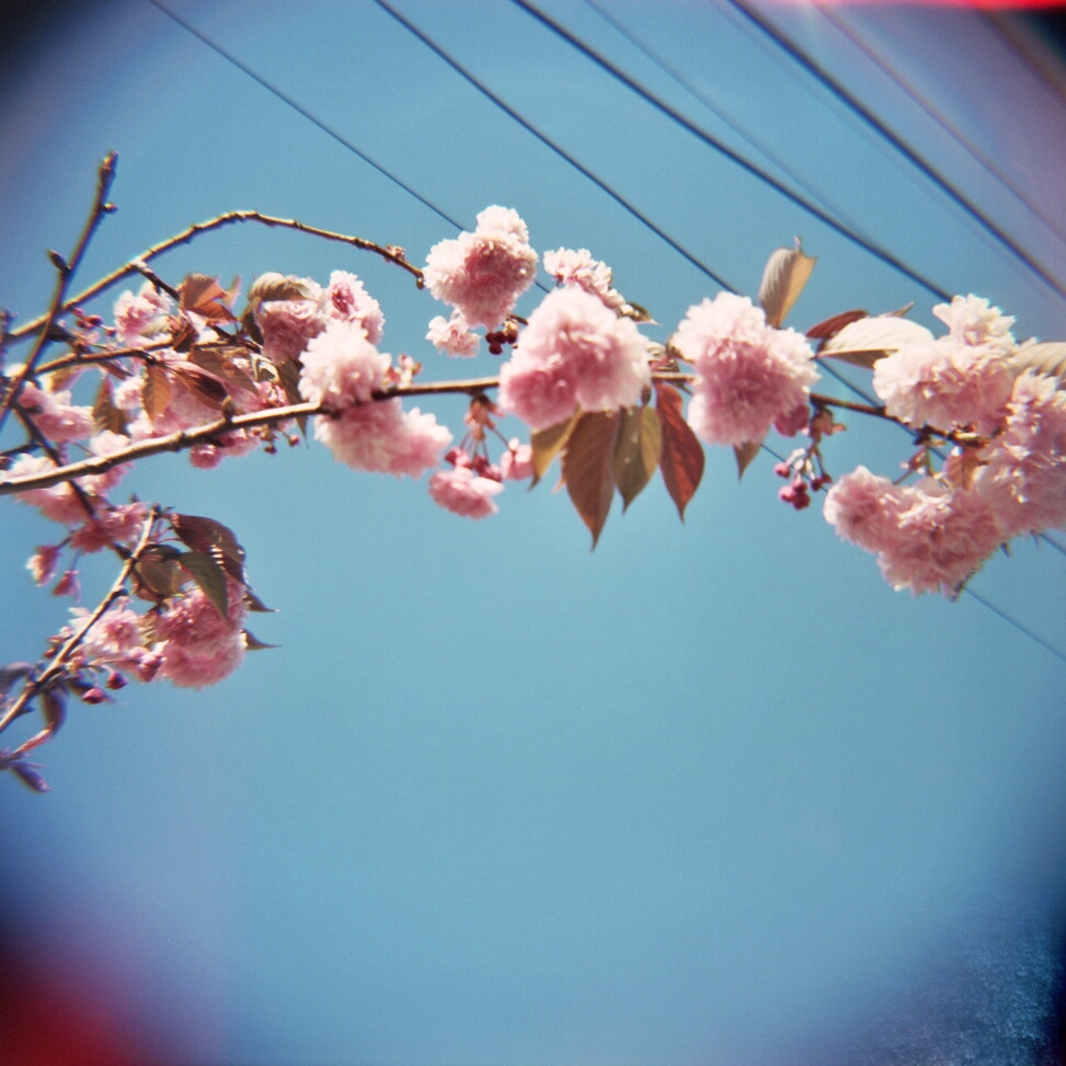 Cherry blossoms in San Francisco