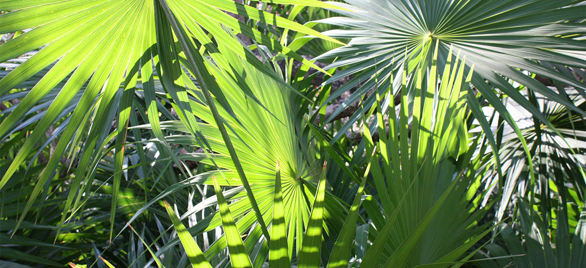 Palm fronds in Tulum
